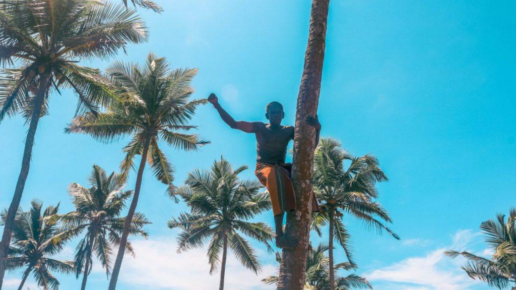 Local trepando palmeras de coco