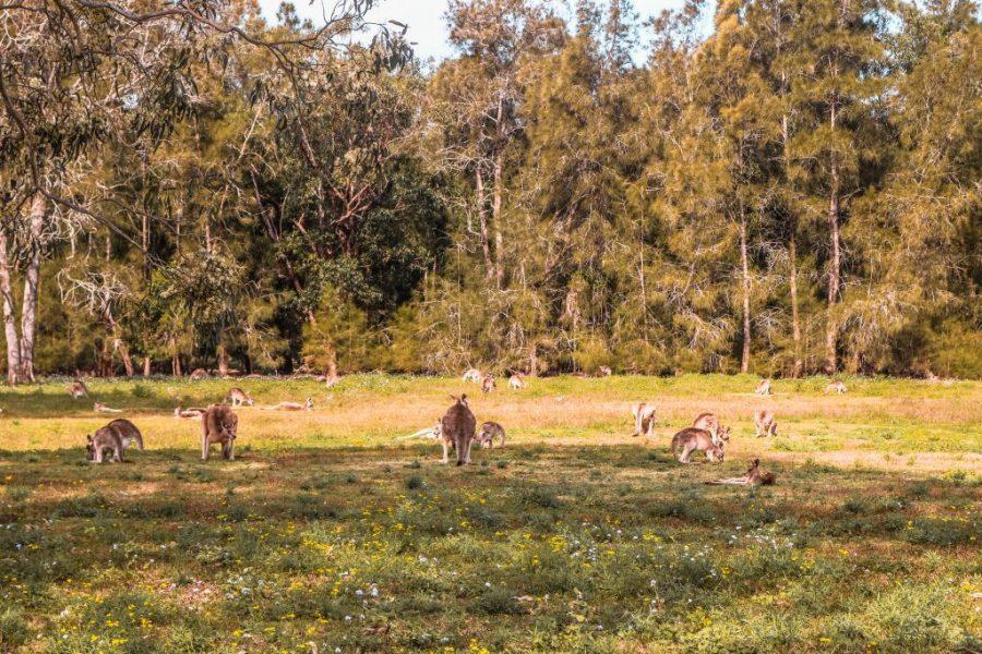 Canguros en Coombabah