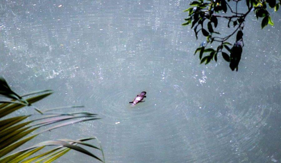 platypus eungella national park