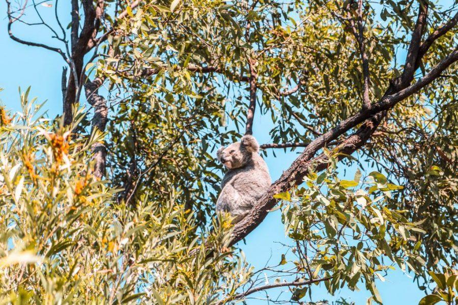 koalas en magnetic island